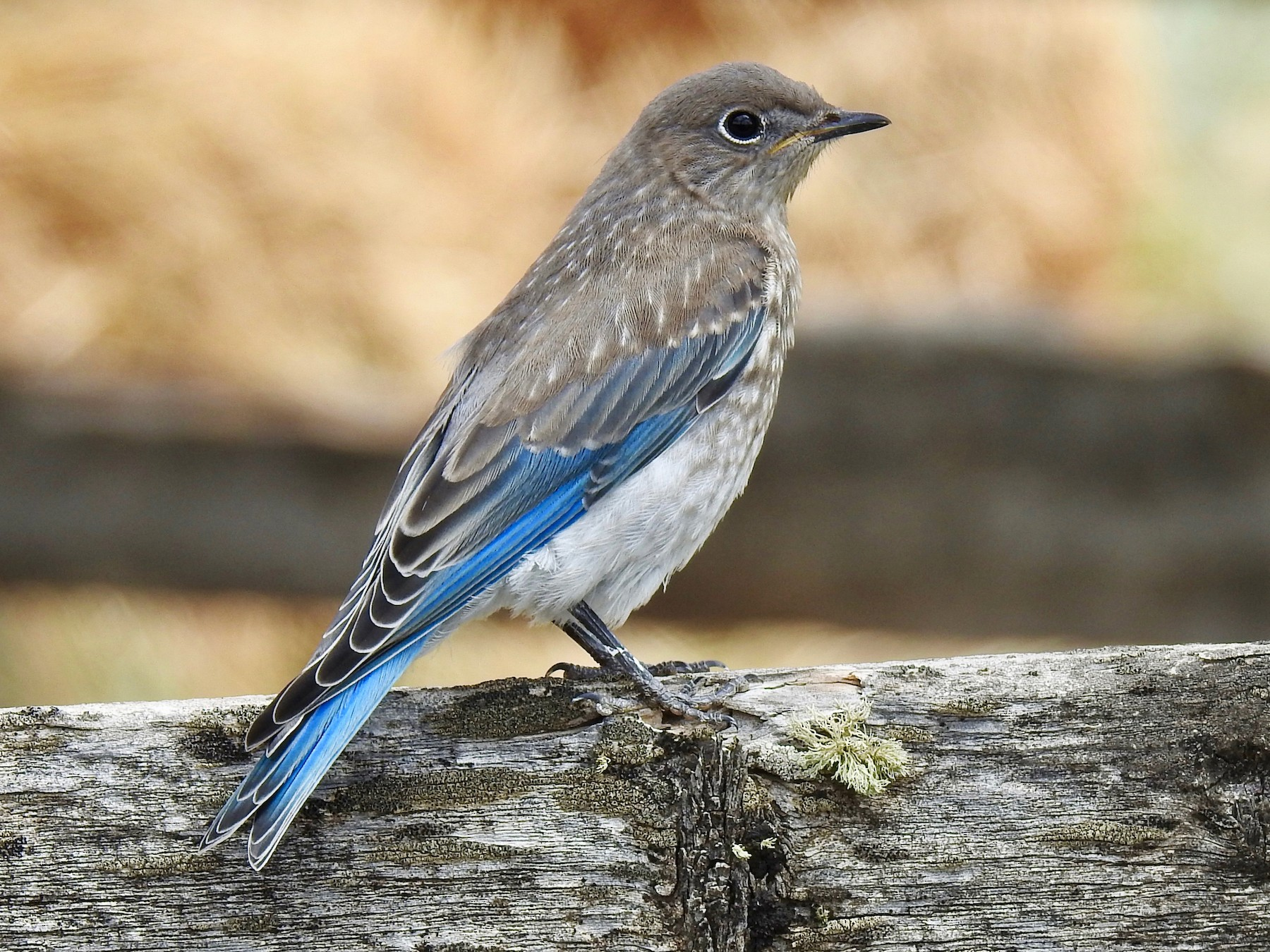 Mountain Bluebird - Van Remsen