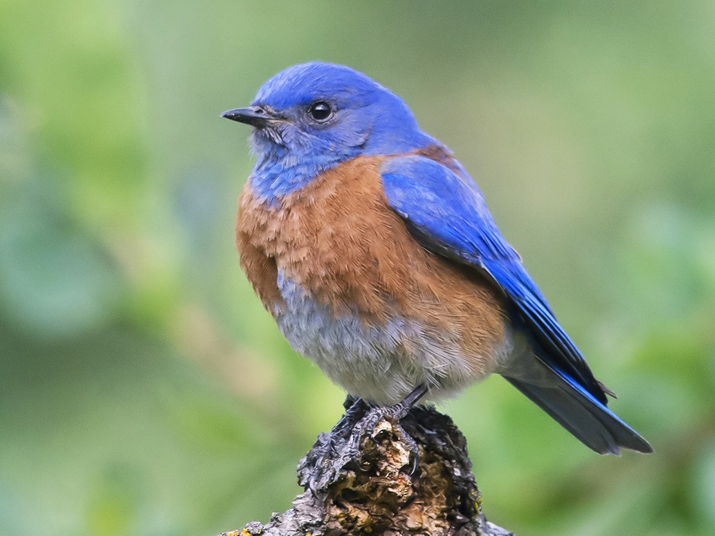 Western Bluebird - Jerry Ting