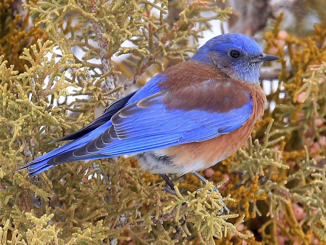 Western Bluebird - Tim Lenz
