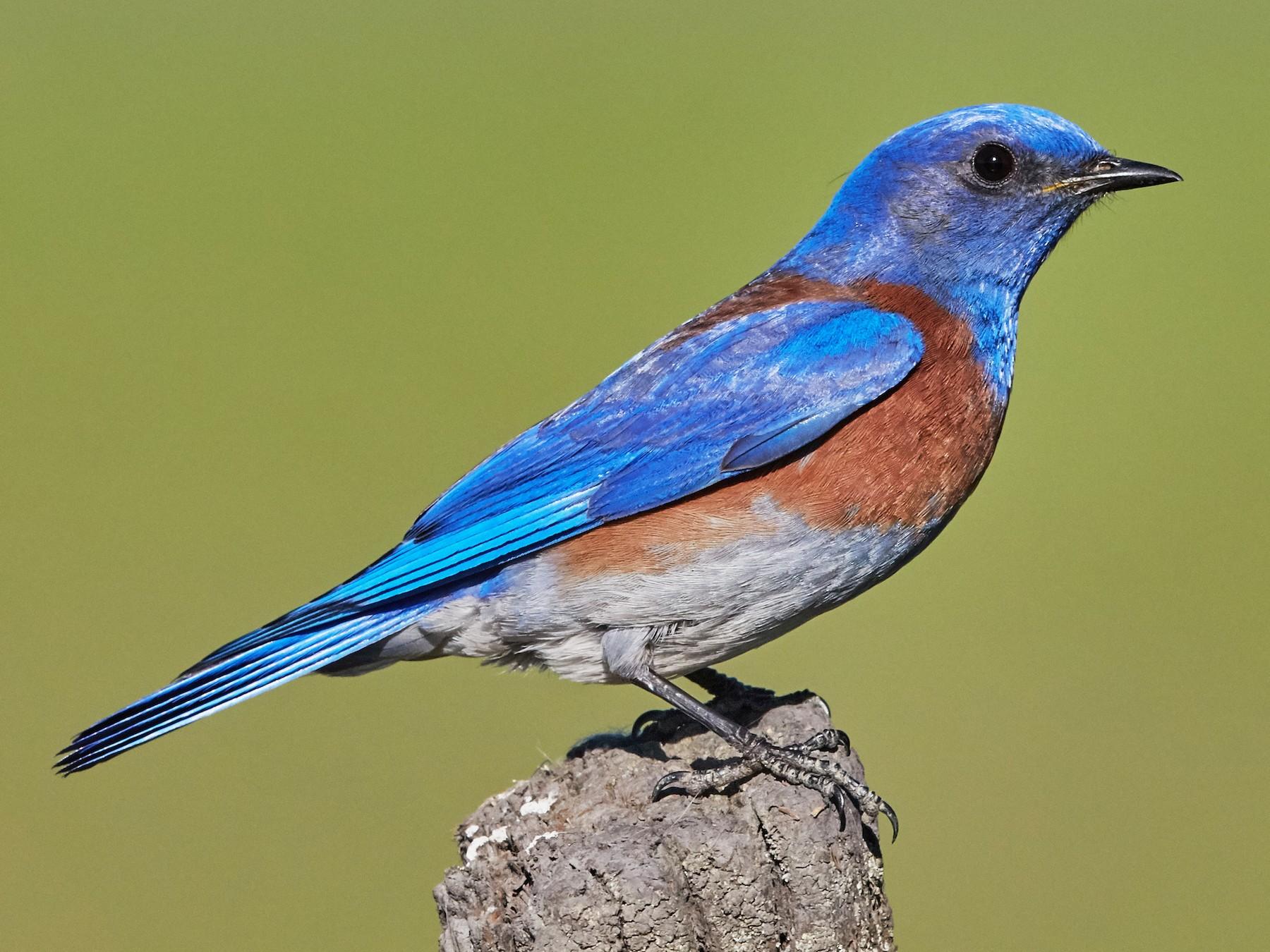 Western Bluebird - Brooke Miller