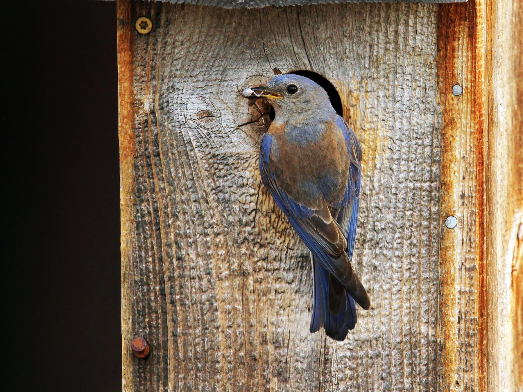 Western Bluebird - Alex Lamoreaux