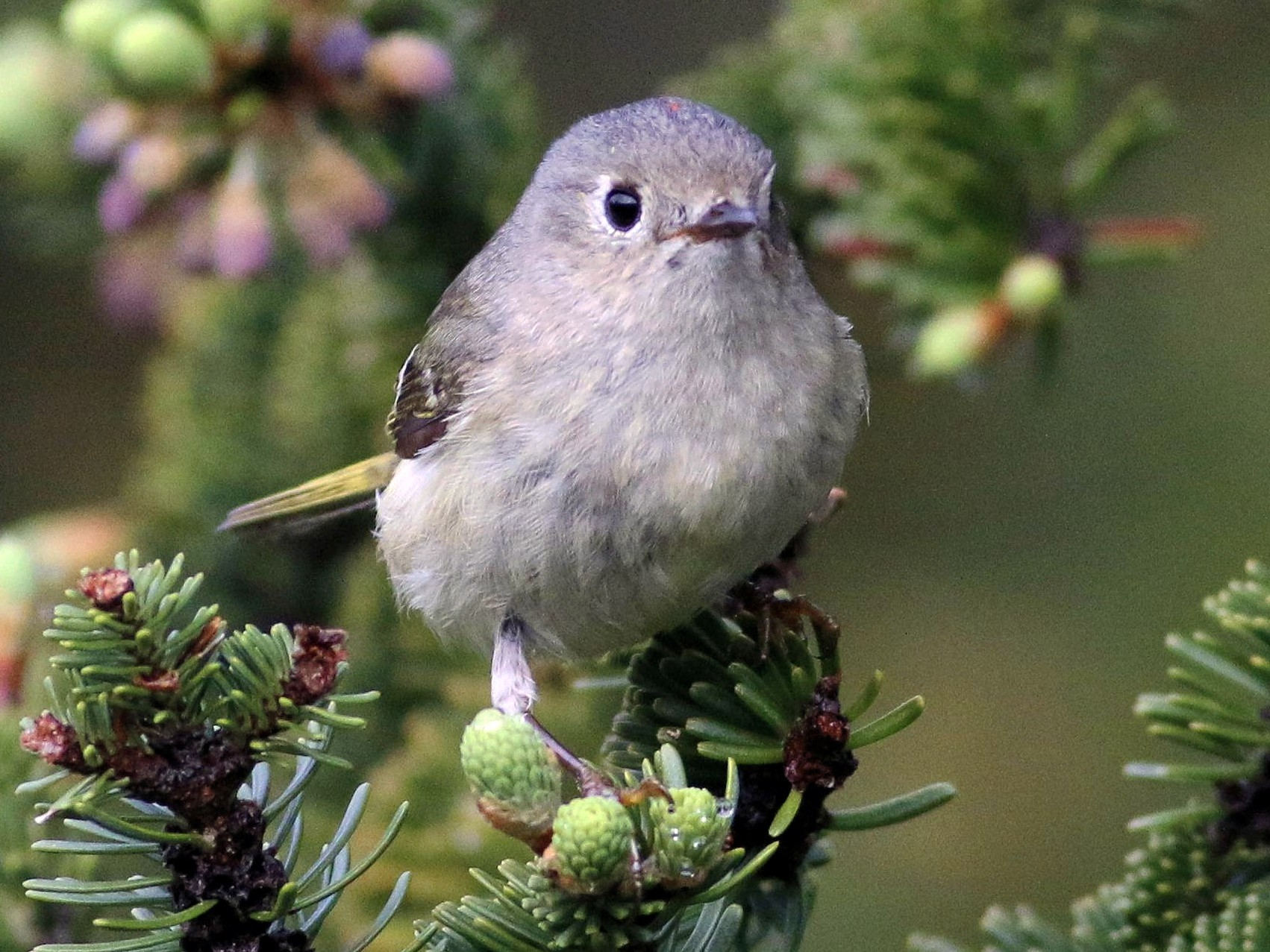 Ruby-crowned Kinglet - Keith Lowe