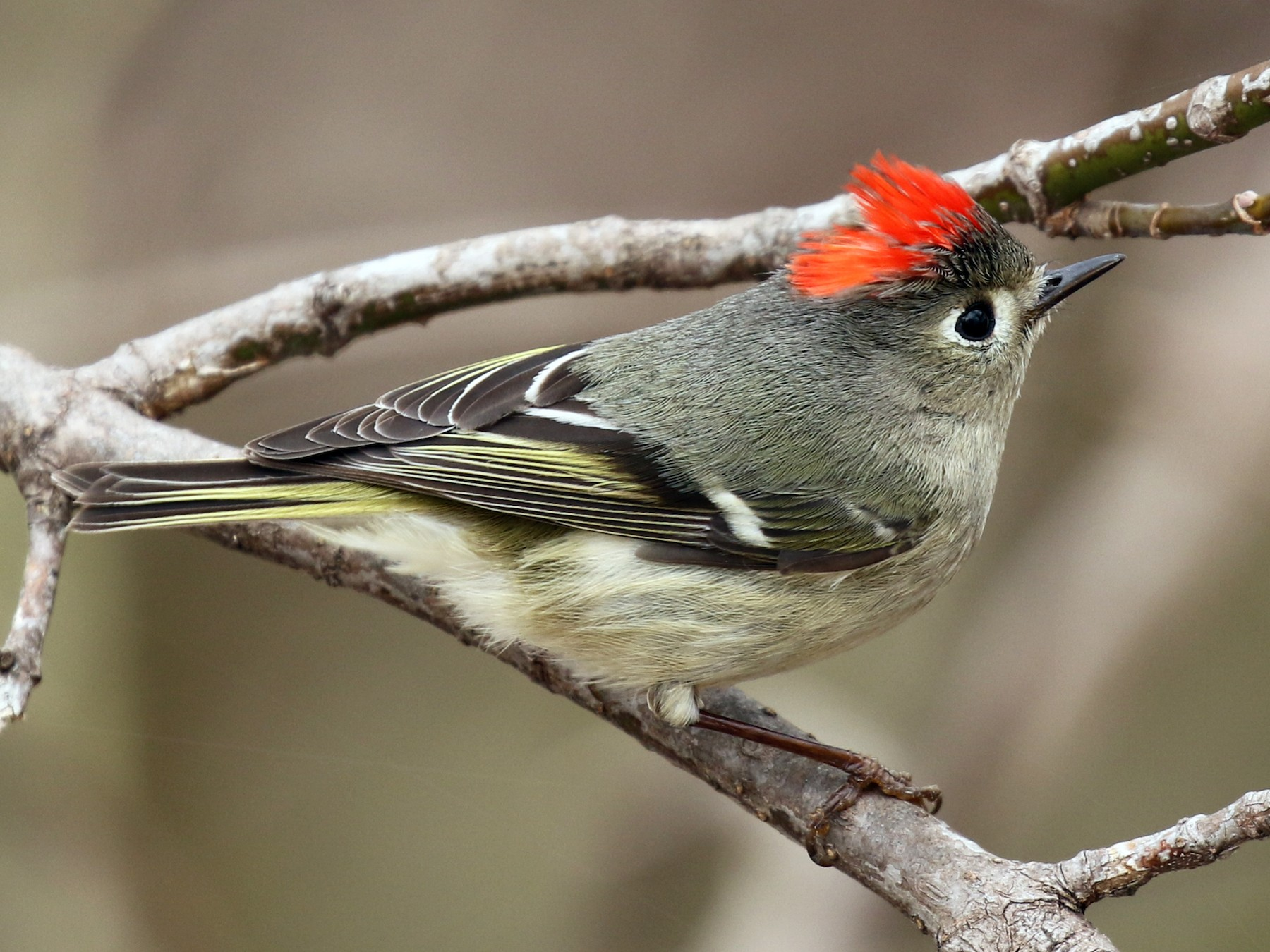 Ruby-crowned Kinglet - Paul Jacyk 🦉