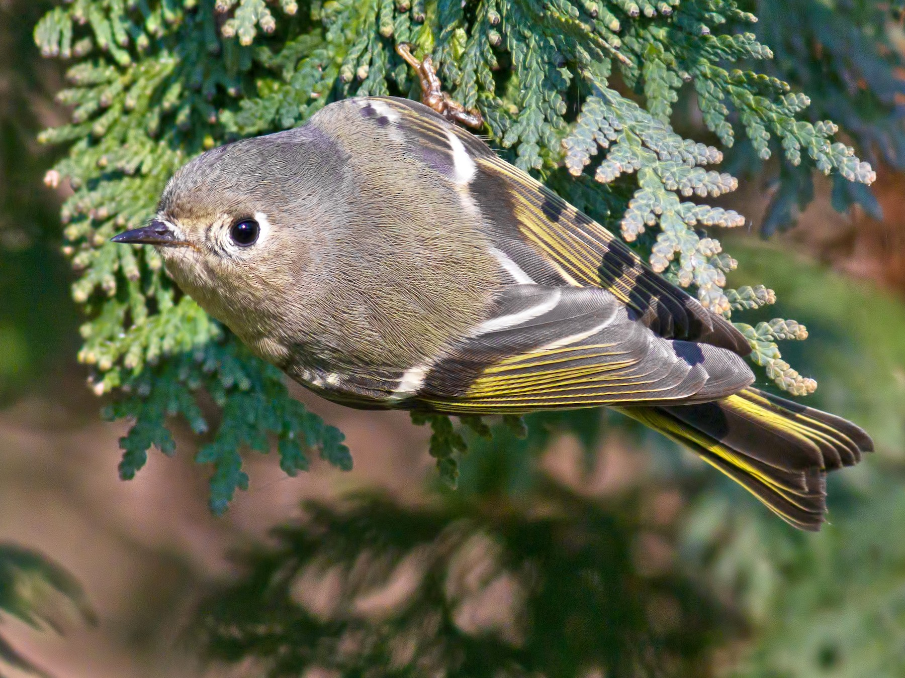 Ruby-crowned Kinglet - Rob Dickerson