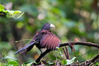 - Green-billed Coucal