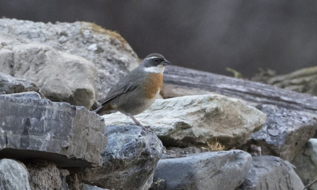 Chestnut-breasted Mountain-Finch