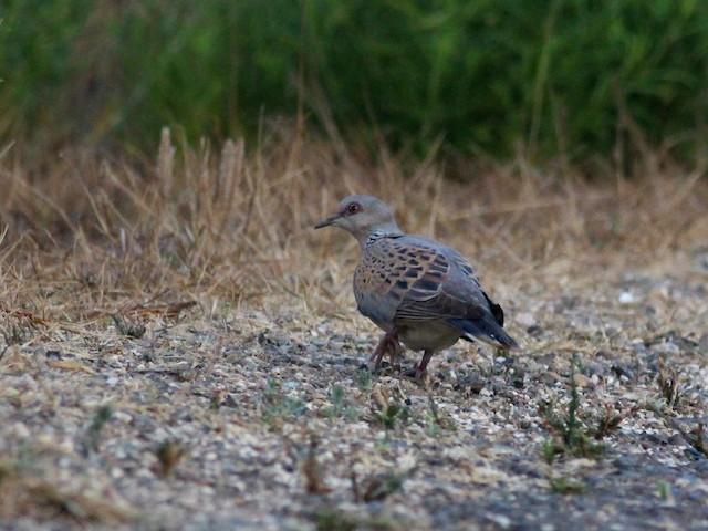 European Turtle-Dove