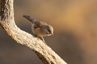 - Southern Gray-headed Sparrow