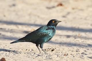 - Cape Starling