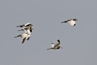 - Long-toed Lapwing