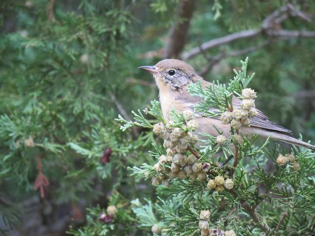 Pine Warbler