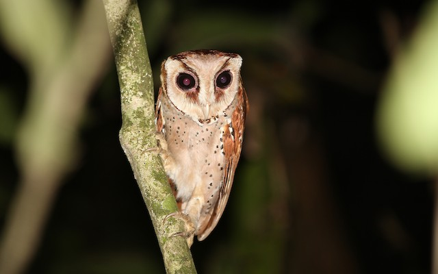 Oriental Bay-Owl