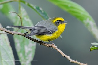 - Yellow-bellied Fairy-Fantail
