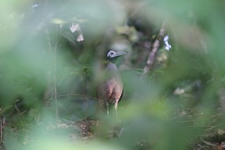 - Bornean Ground-Cuckoo