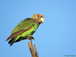 - Brown-necked Parrot (Gray-headed)