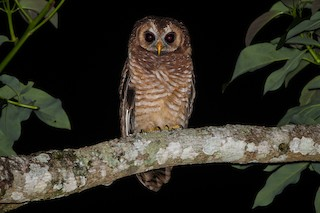 - African Wood-Owl
