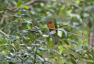 - Scarlet-breasted Fruit-Dove
