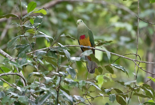 Scarlet-breasted Fruit-Dove