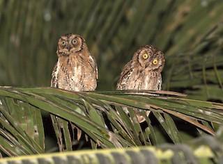 - Moluccan Scops-Owl