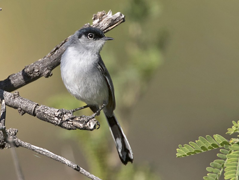 Black-tailed Gnatcatcher - Arlene Ripley