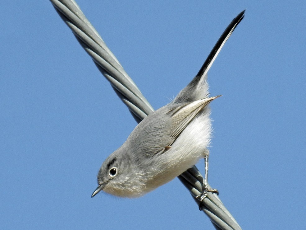 Black-tailed Gnatcatcher - Jim Scott