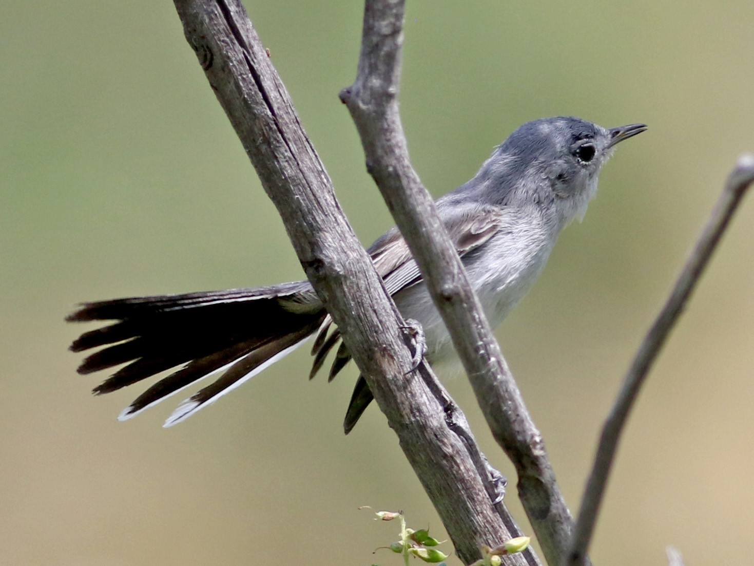 Black-tailed Gnatcatcher - Jay McGowan