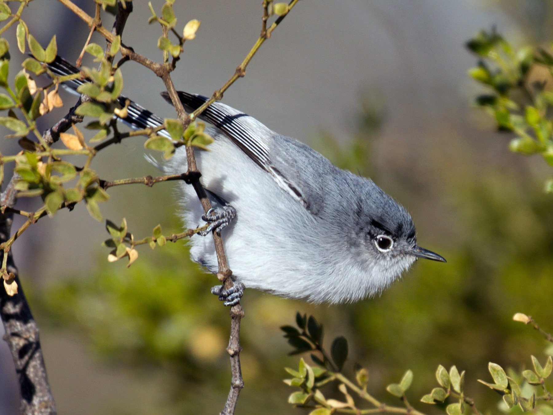 Black-tailed Gnatcatcher - Joan Gellatly