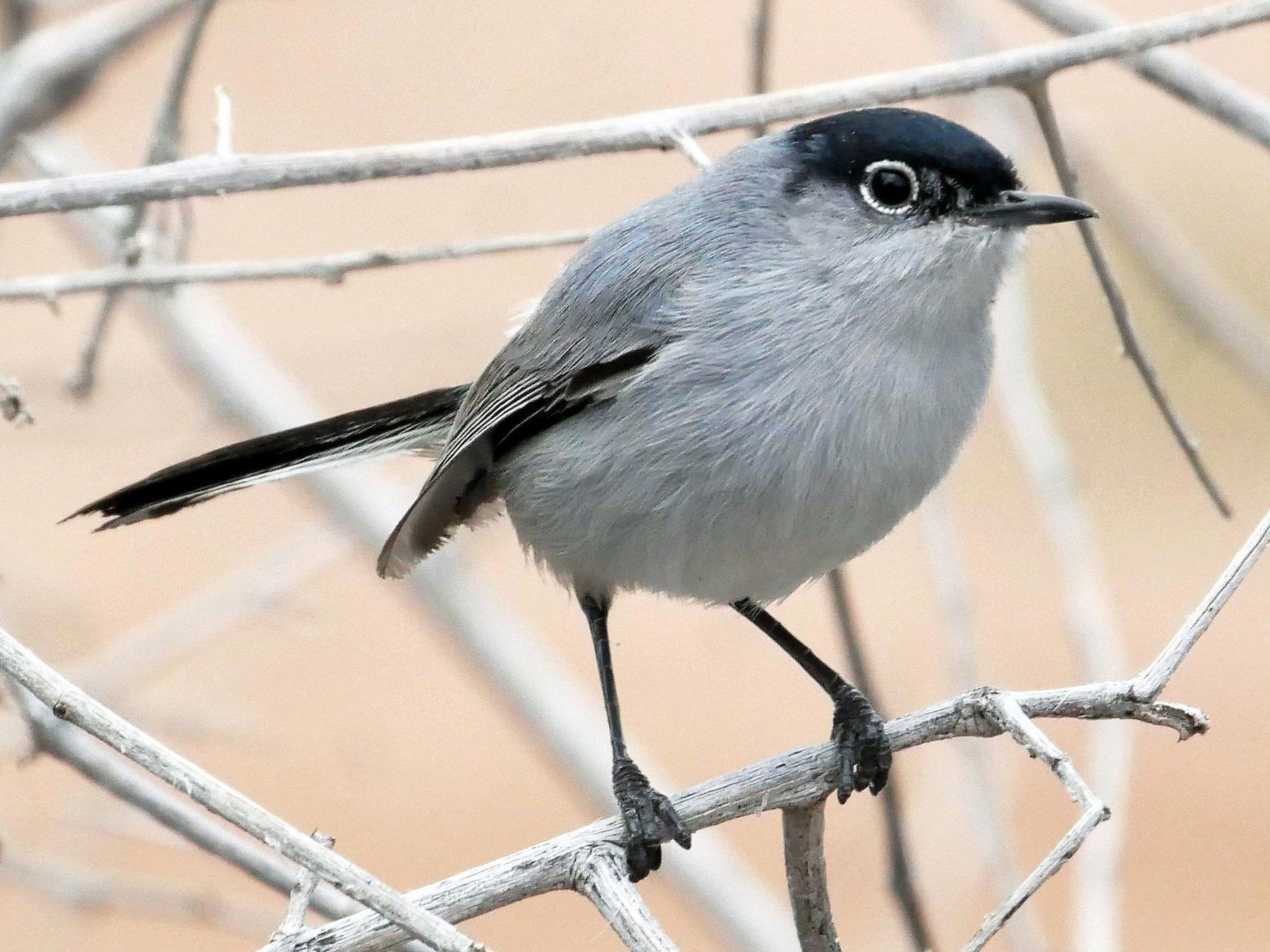 Black-tailed Gnatcatcher - Patrick Vaughan