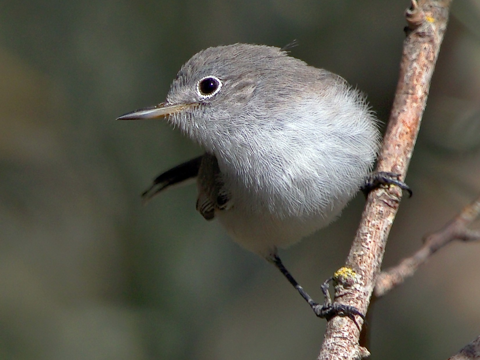 Blue-gray Gnatcatcher - DigiBirdTrek CA