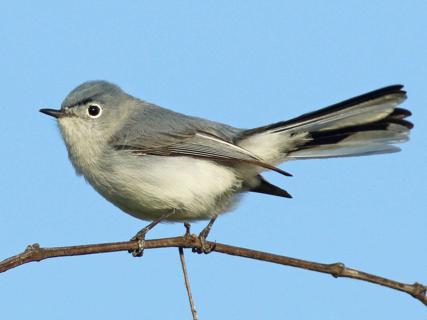 Blue-gray Gnatcatcher - Linda Chittum