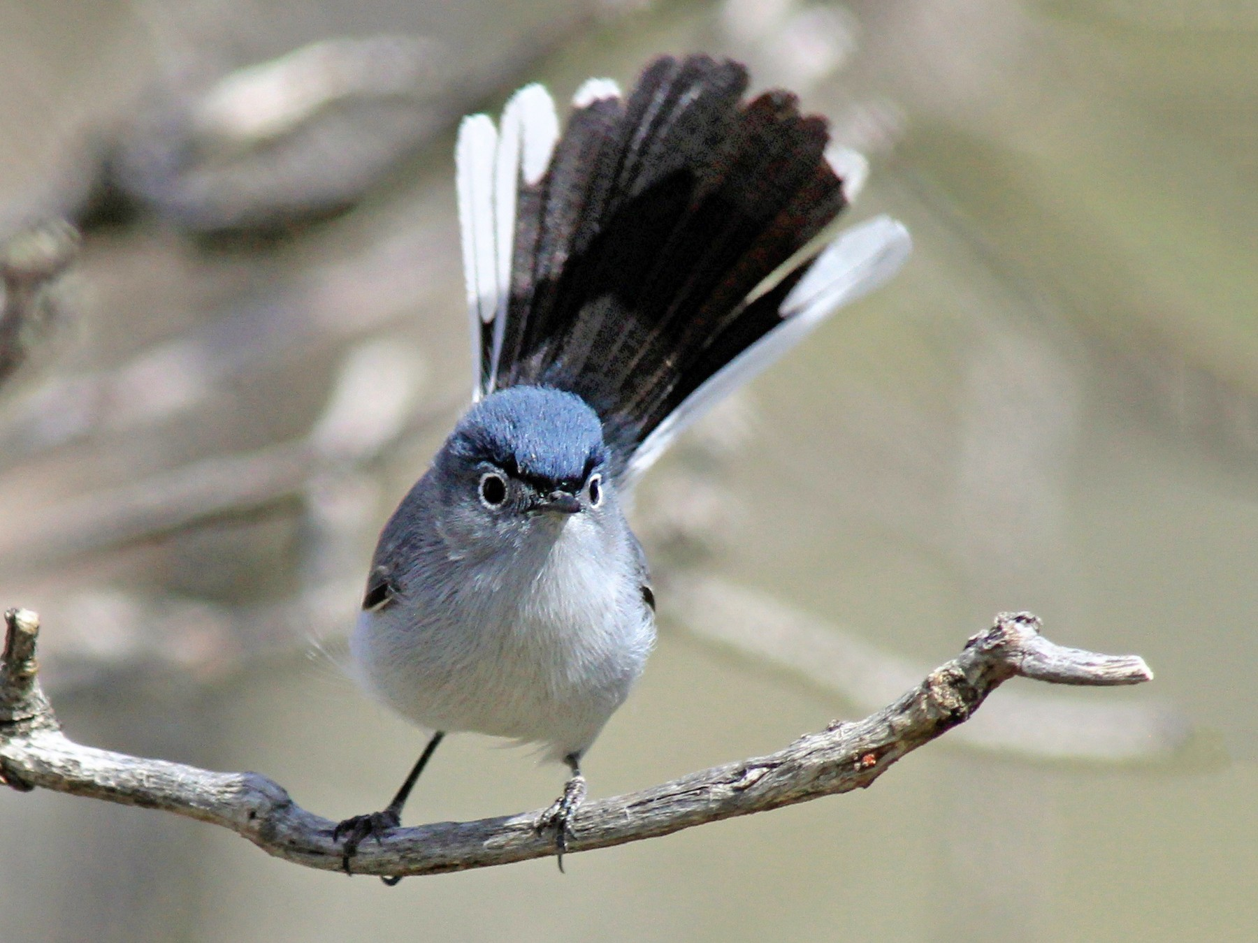 Blue-gray Gnatcatcher - Matthew Pendleton