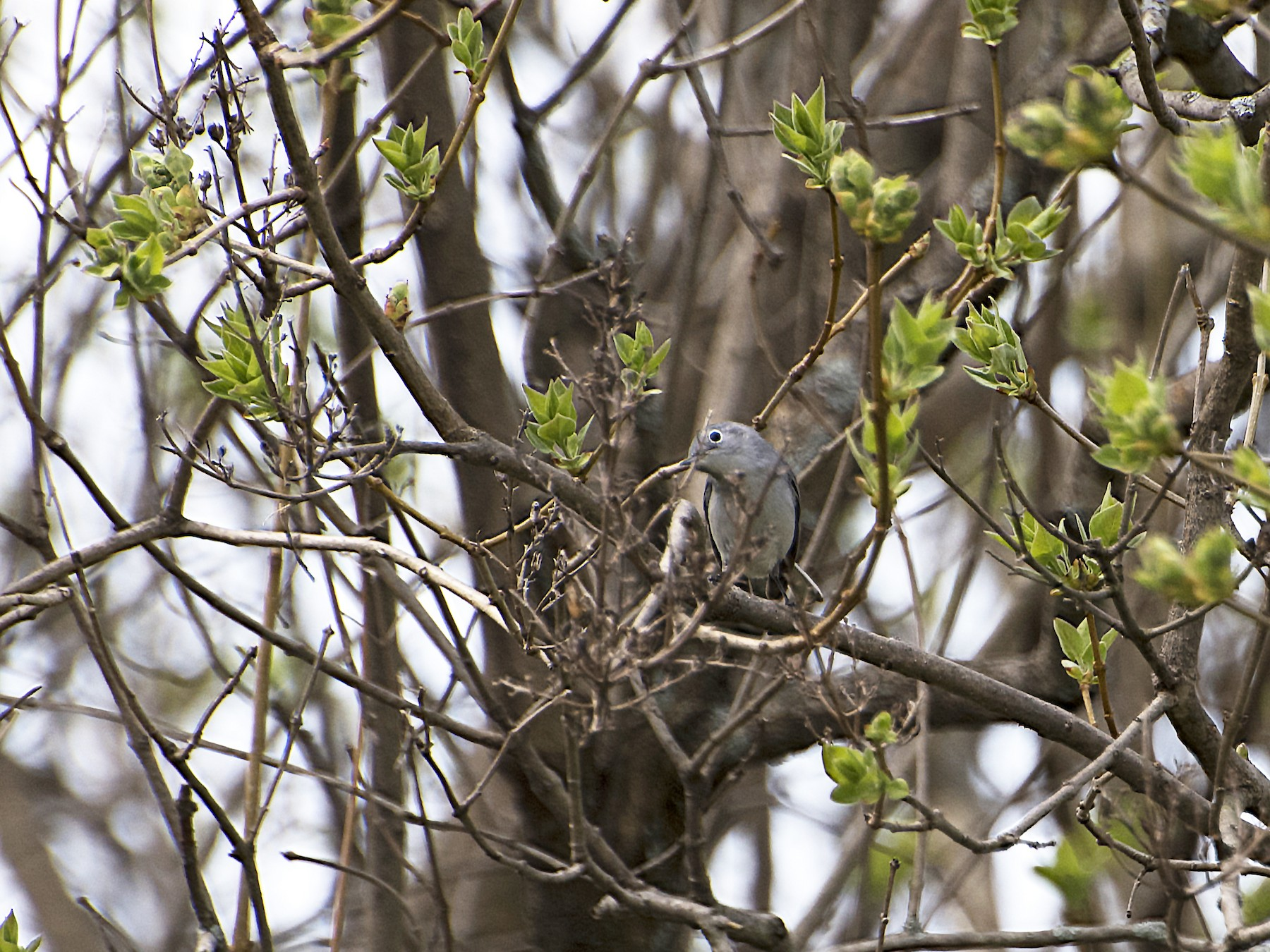 Blue-gray Gnatcatcher - Deborah Dohne