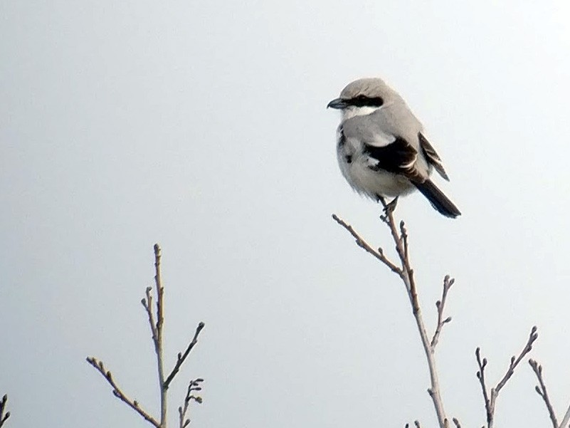 Great Gray Shrike - Peter Lantz