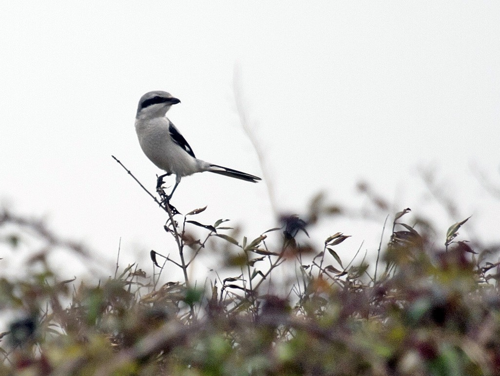 Great Gray Shrike - Rob Martin