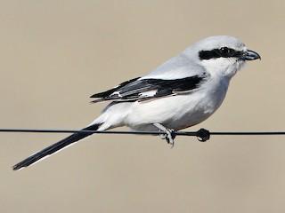 - Great Gray Shrike