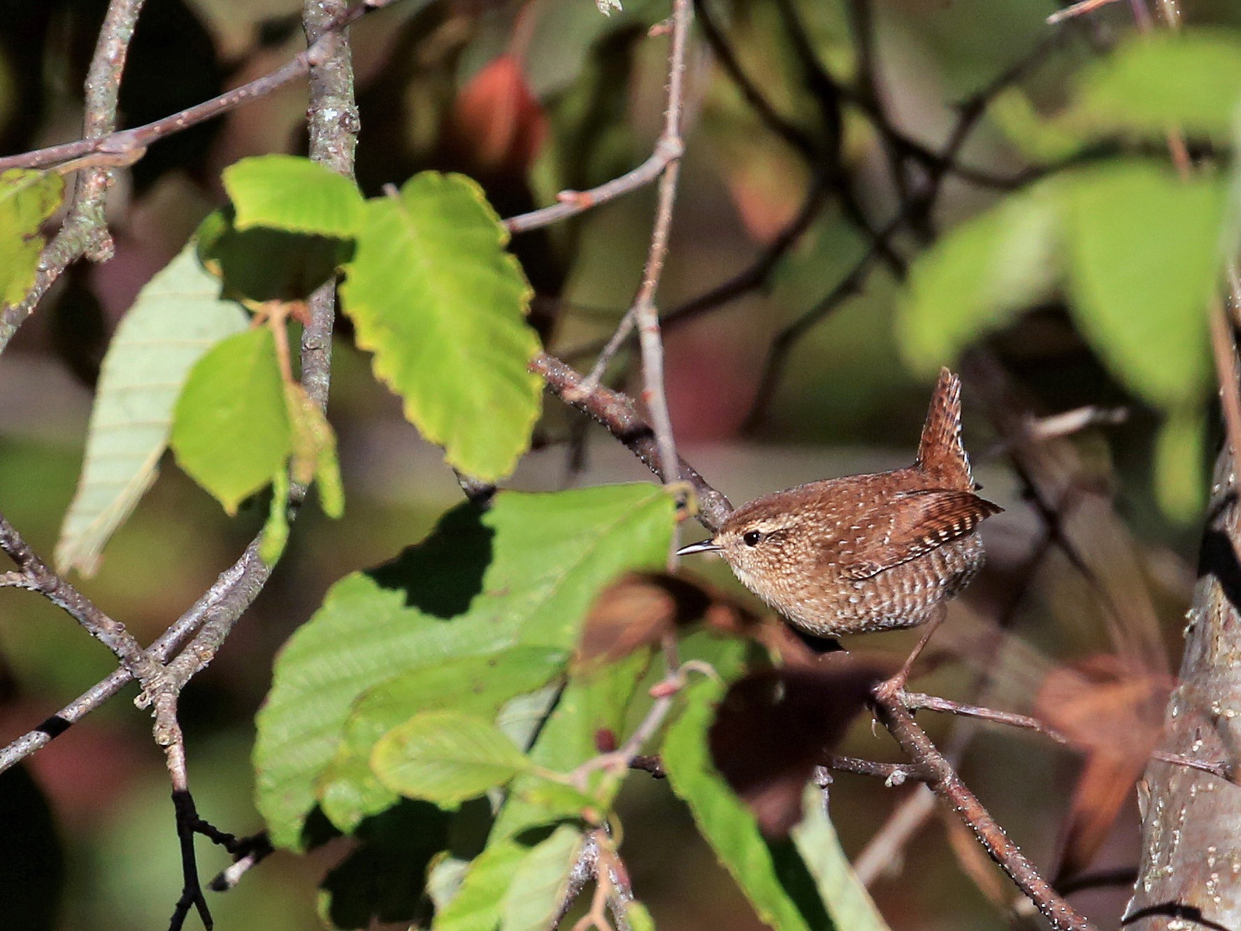 Winter Wren - Tim Lenz