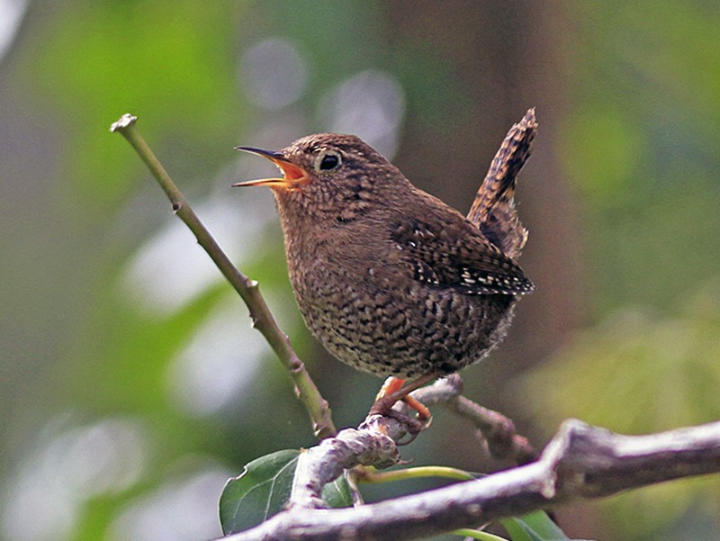 Pacific Wren - Marie O'Shaughnessy