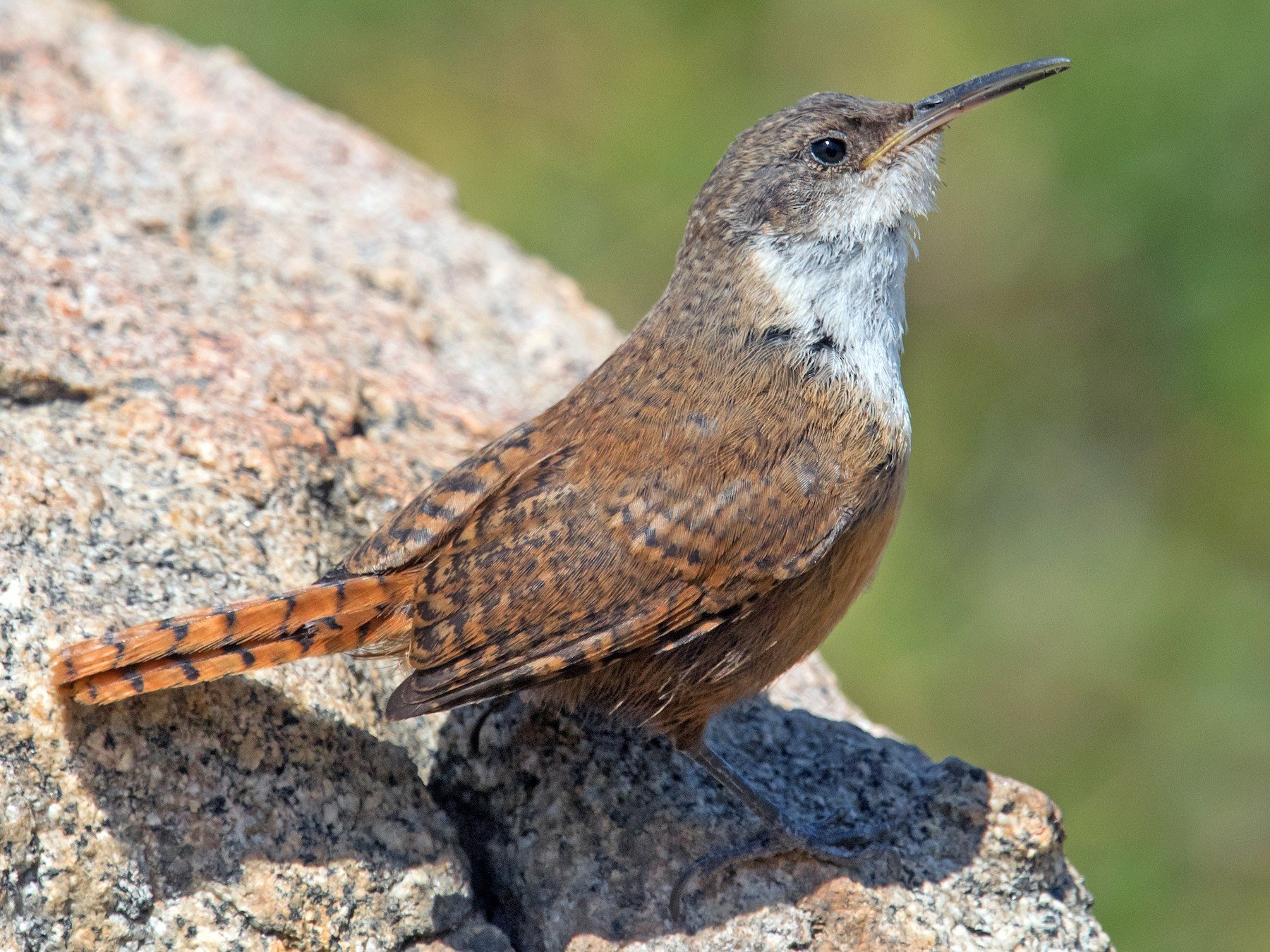 Canyon Wren - Nancy Christensen