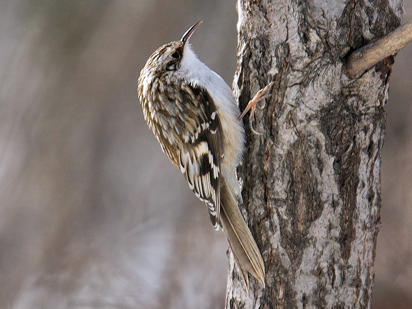 Brown Creeper - David Turgeon