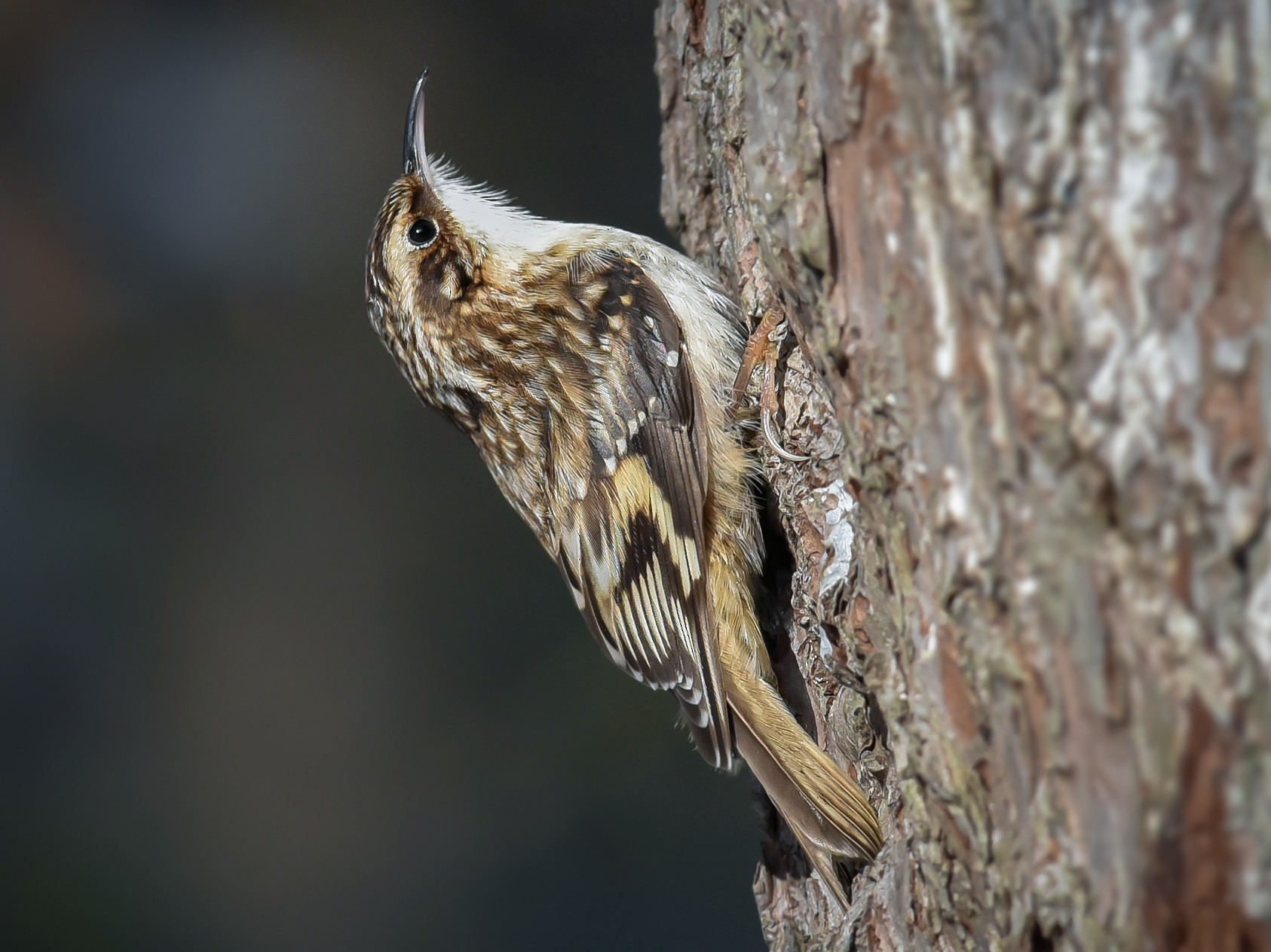 Brown Creeper - Scott Martin