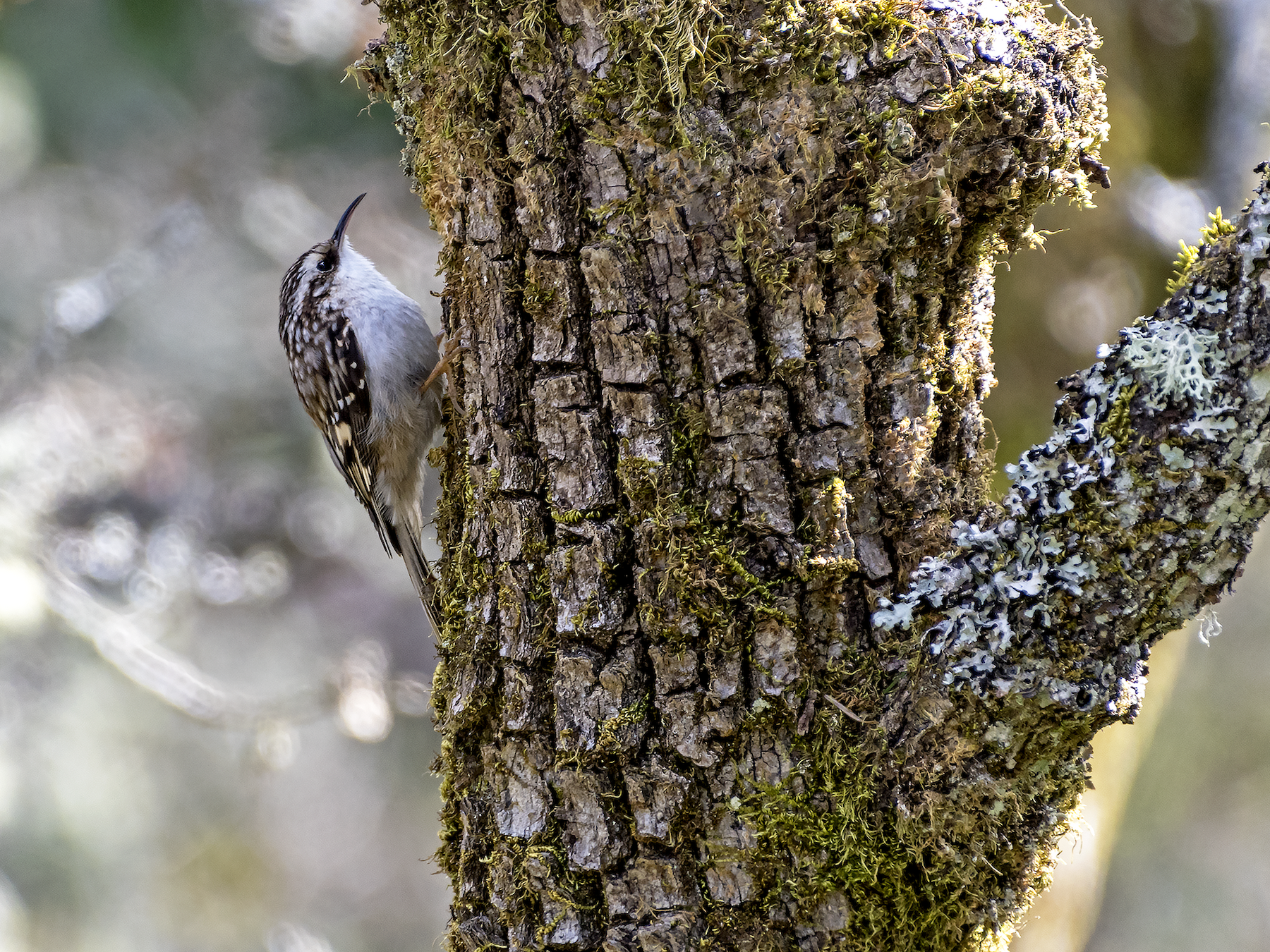 Brown Creeper - David Badke