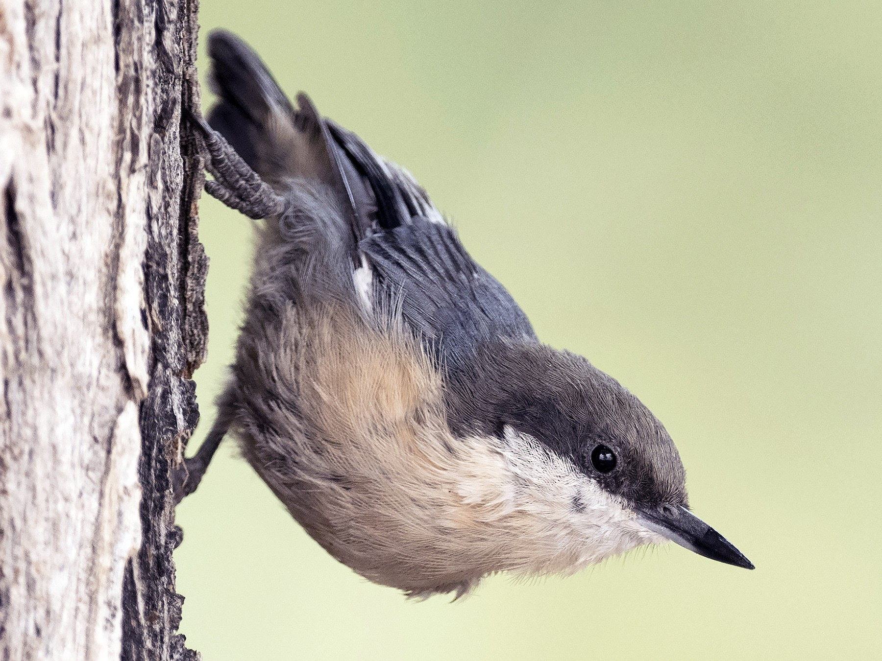 Pygmy Nuthatch - Ian Routley