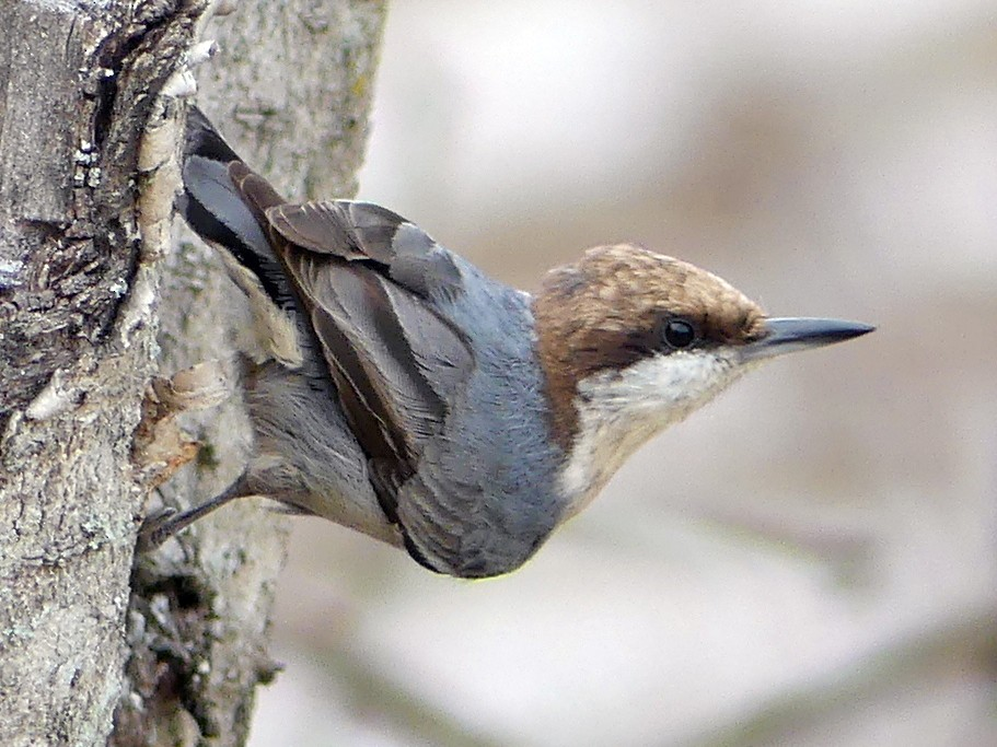 Brown-headed Nuthatch - Shelley Rutkin