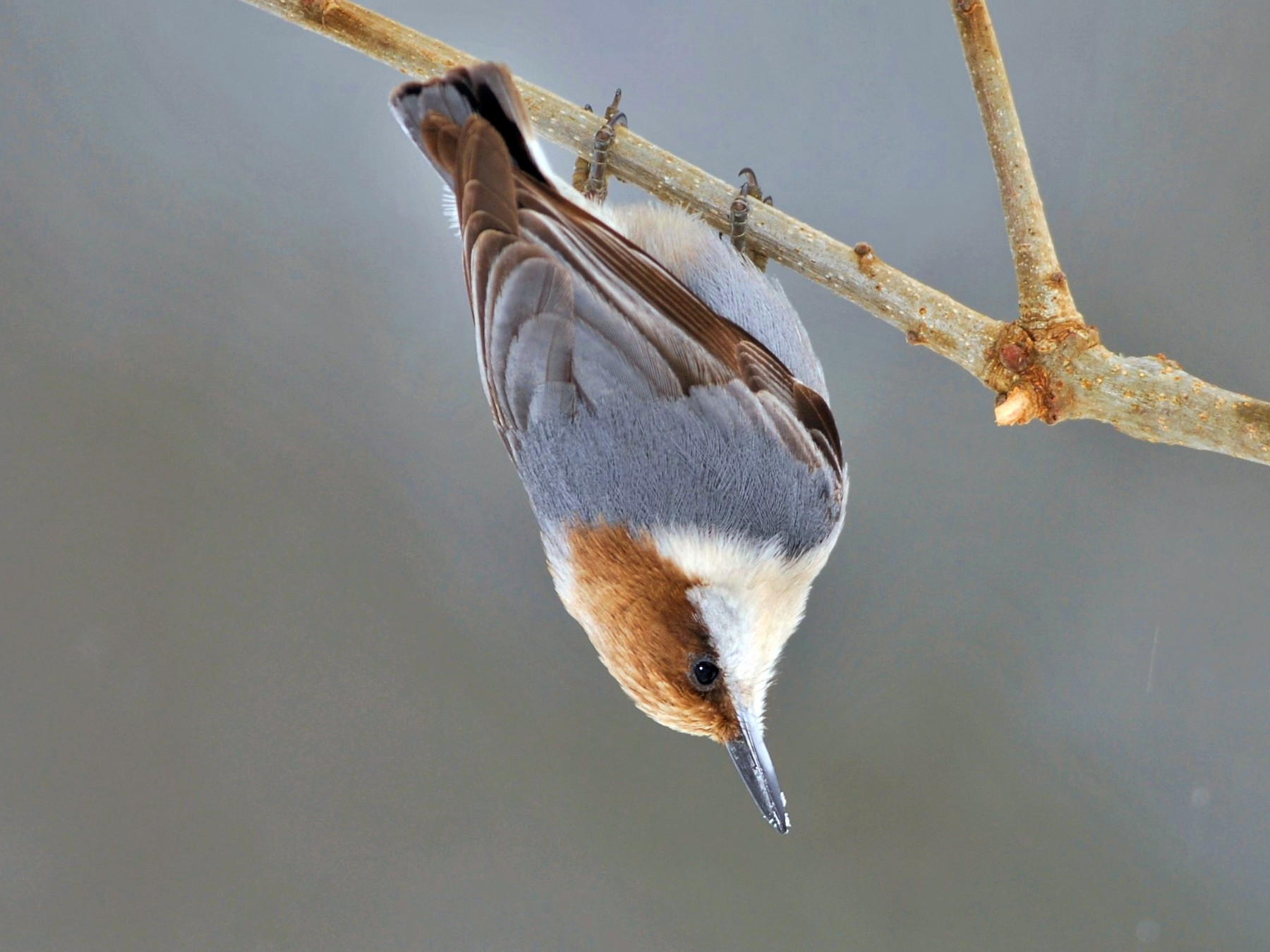 Brown-headed Nuthatch - David Hollie