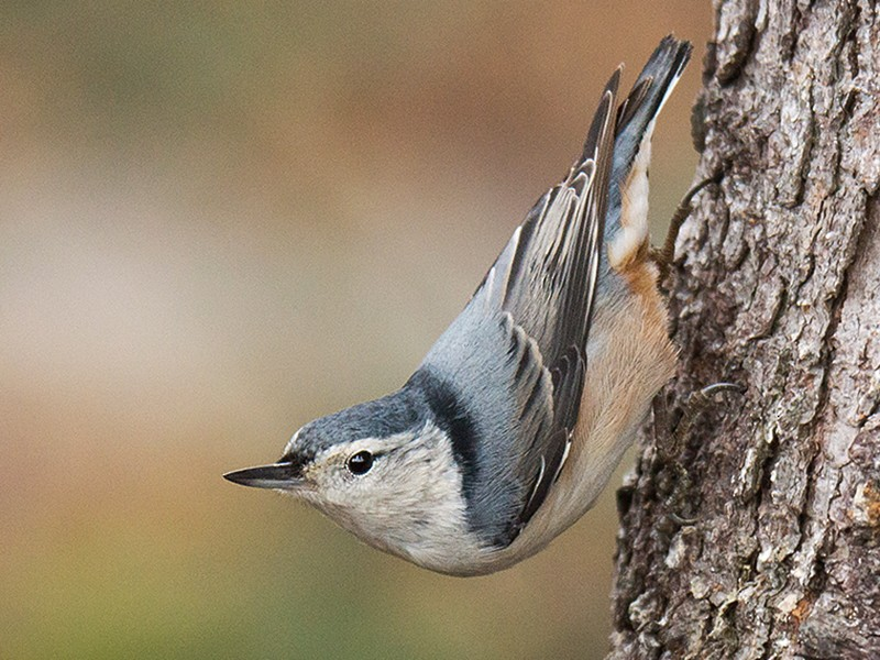 White-breasted Nuthatch - David Turgeon