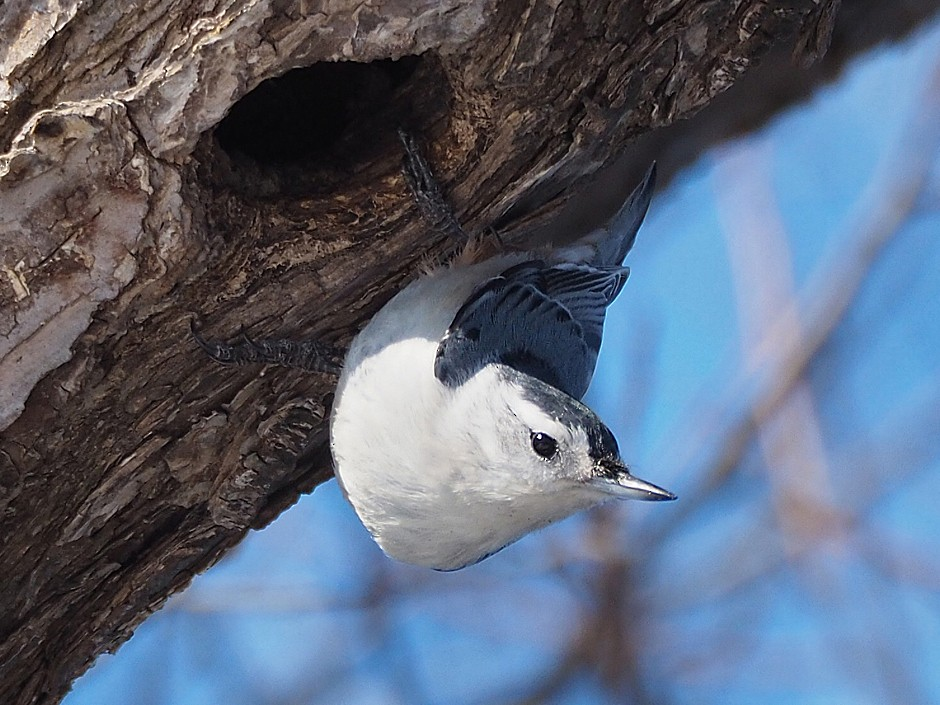 White-breasted Nuthatch - Gordon Johnston