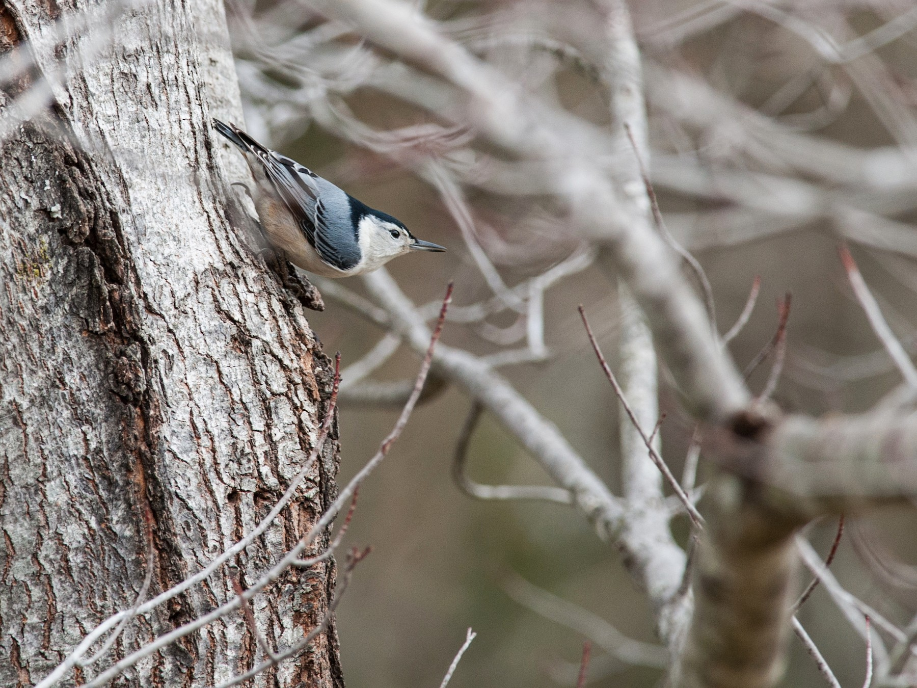 White-breasted Nuthatch - Taylor Long