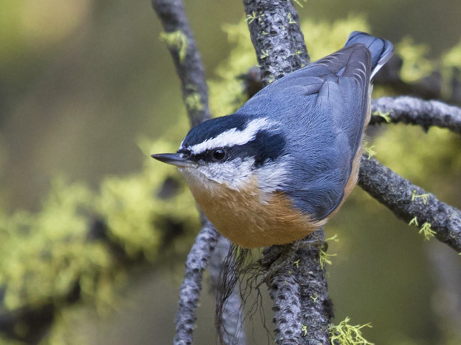 Red-breasted Nuthatch - Cal Gesmundo