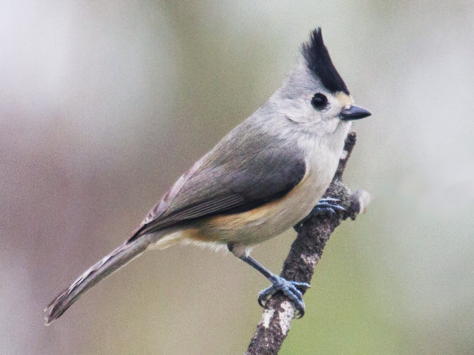 Black-crested Titmouse - Griffin Richards