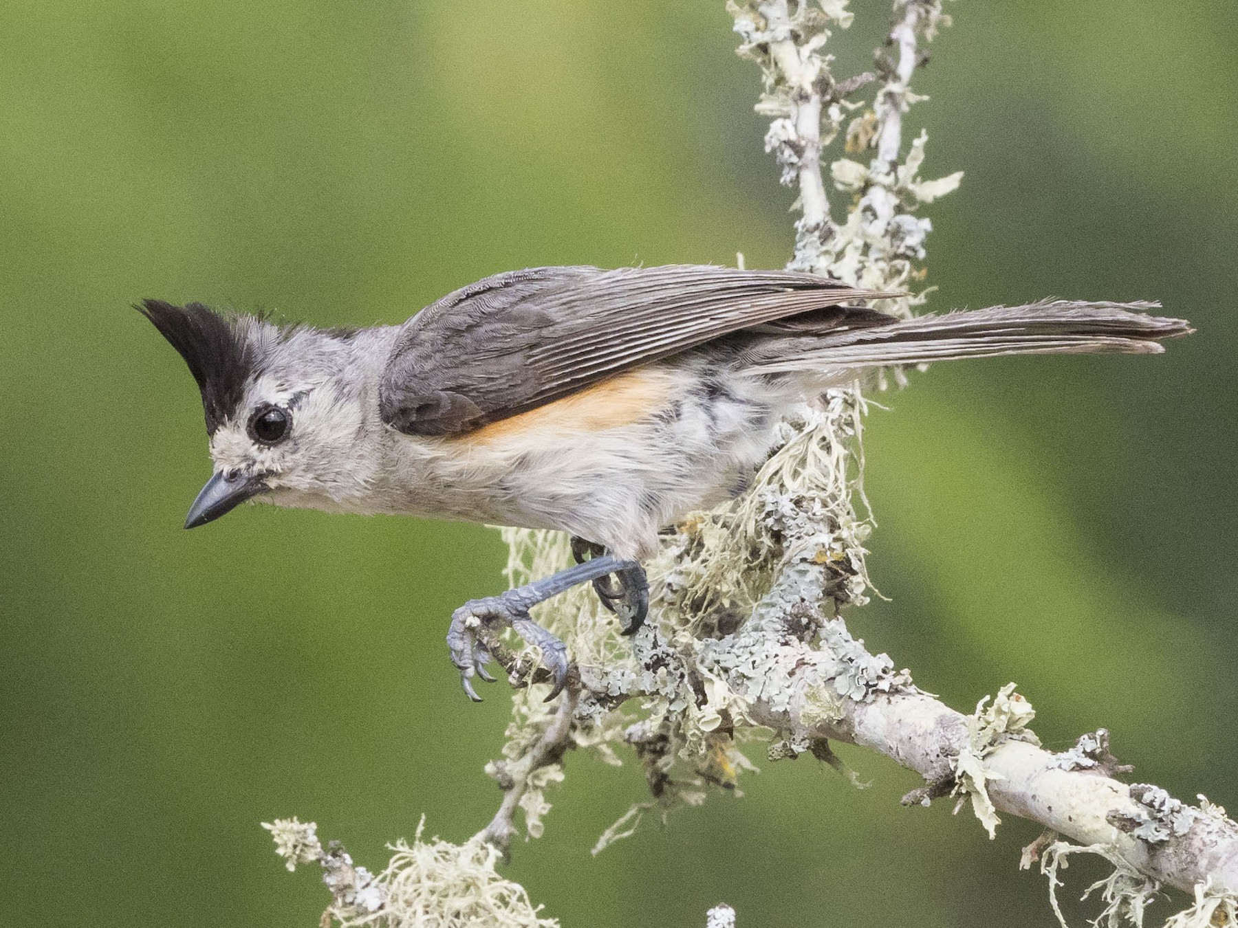 Black-crested Titmouse - Mary Waters